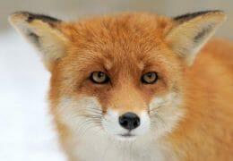 Beware the Monstrous Fox!